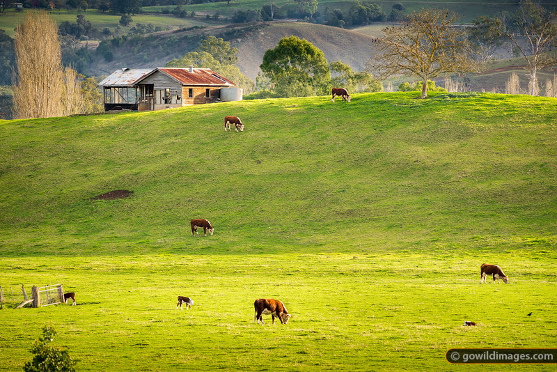 Hereford beef cattle grazing in a peaceful valley scene East of Buchan