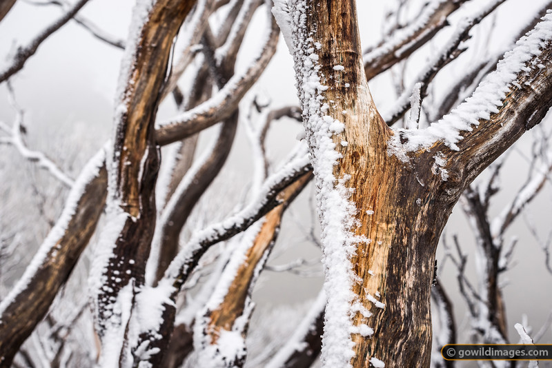 Icy Snow Gums