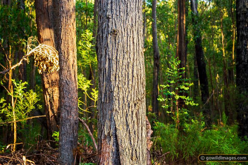 Thick forest of Alfred NP in Eastern Victoria