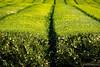 Tea Farming