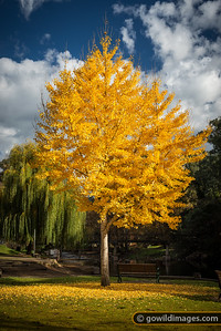 Autumn Ginkgo tree on the Ovens River in Bright