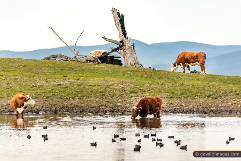 Hereford beef cattle grazing, wading and drinking from a dam on the edge of Snowy River NP