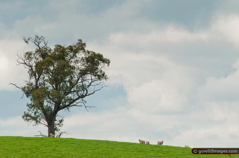 Sheep relaxing under a gum tree