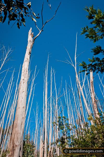 Trees devastated by 2003 bushfires, yet to recover. Cobbler Lake - Mt Cobbler walking track.