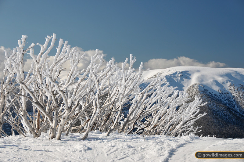 Icy rime buildup at the top of Falls Ck Summit run. Looking north towards Spion Kopje.