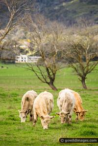 Creamy Cattle