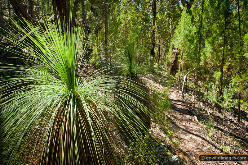 Walking track Rocky Knob and Pine Mountain. Burrowa-Pine NP. Australian Grass Tree (Kangaroo Tail) and Black Cypress Pine line the path.