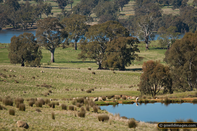 A young lamb drinks from a dam, some trees and grass, you can see a sheep's a...