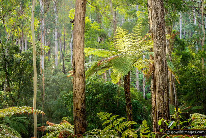 Lone tree fern among the Peppermint Gums, Lind NP