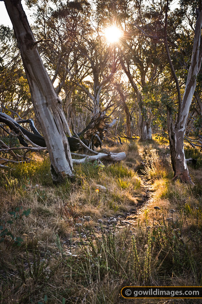 Late afternoon sun through the snow gums on the track from Mt Buller's west ridge, over Round Hill to Doughty's road.
