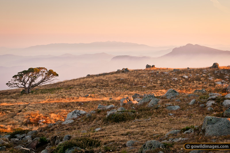 Lone snow gum at sunrise, with Mt Buffalo (L) and Mt Cobbler (R) in the distance. Taken from Mt Stirling. Smoke from a nearby bushfire fills the valleys below around 1000m