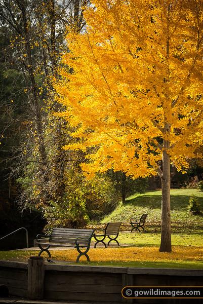 Autumn Ginkgo tree in Bright