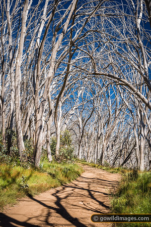 Natural arch of Snow gums on Stirling Trail, Mt Stirling. This is a popular cross-country ski run in Winter. These trees were killed off by bushfire in 2006.