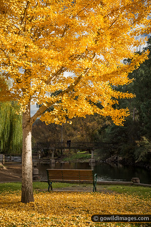 A couple pause on the bridge to enjoy the colours of an Autumn Ginkgo tree, Bright