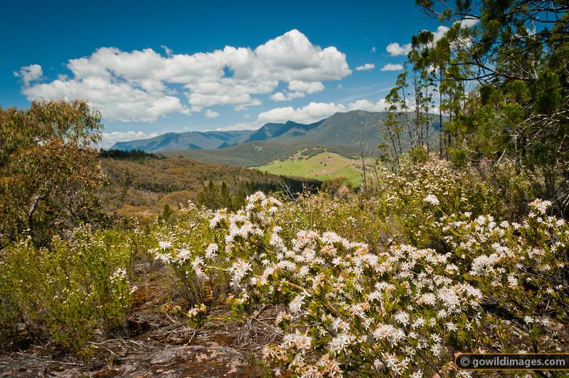 Wildflowers at Rocky Knob, near Pine Mountain. Farmland splits the Burrowa-Pine NP, with Black Mt and Mt Burrowa in the distance