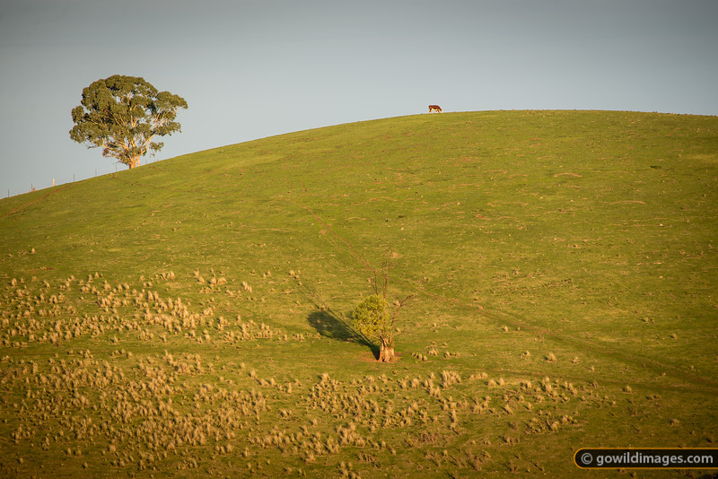 Lone Hereford cow grazes atop a hill North of Buchan