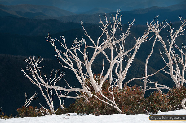 Snow gums on The Razorback, Mt Feathertop. Looking into the Kiewa Valley.