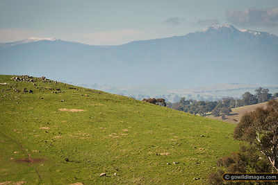 Sheep grazing near Mansfield, with Mt Stirling (1745m, left) and Mt Buller (1805m, right) behind.