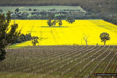 Canola & Vines