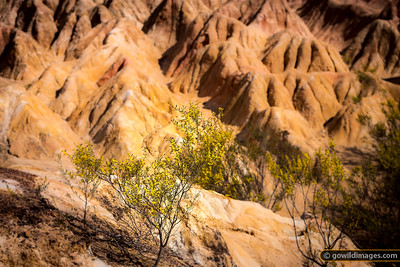 Pink Cliffs Wattle