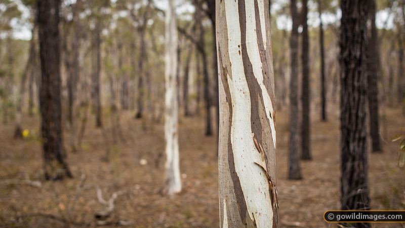 Gums and iron bark