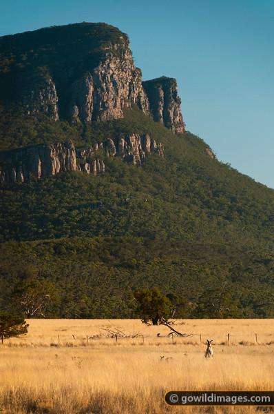 Kangaroos below Mount Abrupt, Grampians. Taken from Dunkeld.