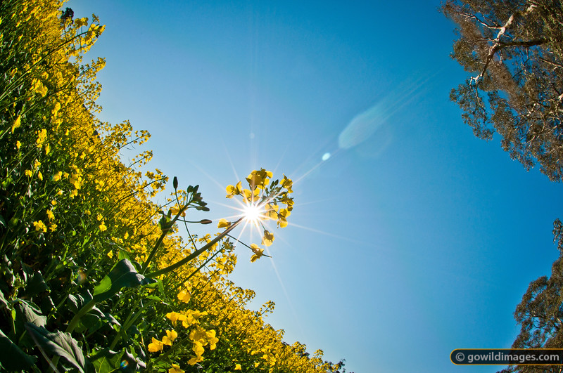 Canola flowers in a field North of Heathcote