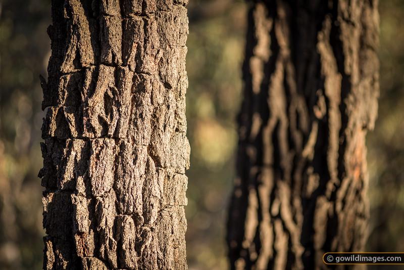 Box Ironbark trees, Kara Kara National Park (formerly St Arnaud Range NP)