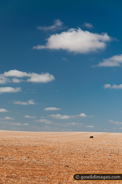 Lone Black Angus cow in a drought-affected paddock, just south of Mildura near Carwarp. Other angles available.