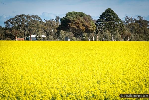 Canola fields alongside Runnymede Cemetary