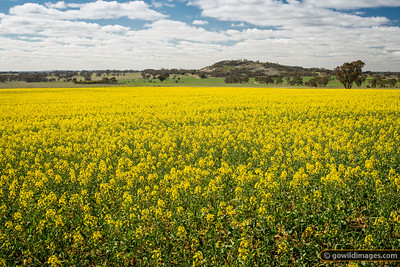 Young canola