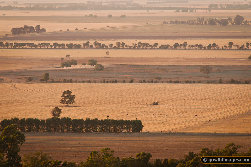 Rural farmland scene, cattle, early morning, from Mt Terrick Terrick, Terrick Terrick NP