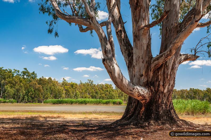 River Red Gum, Barmah NP, alongside Murray River and Barmah Lake camping area
