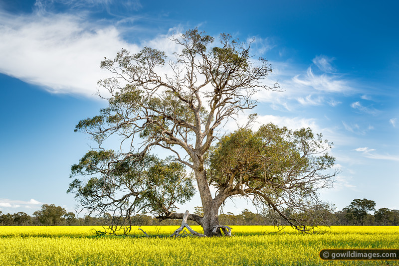 Lone gum in canola field, Runnymede