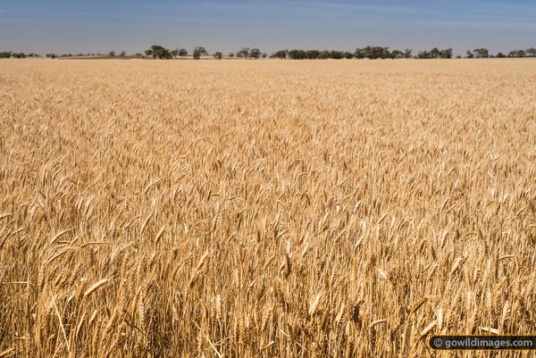 Wheat fields, Kiata