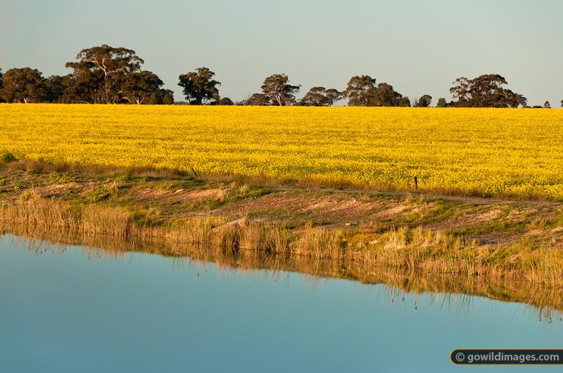 Canola field along the Waranga Western Channel near Mathiesons