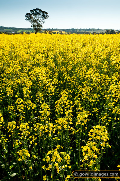 Canola field North of Heathcote