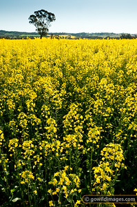 Canola field North of Heathcote