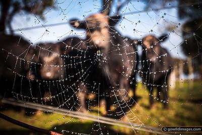 Cow Web