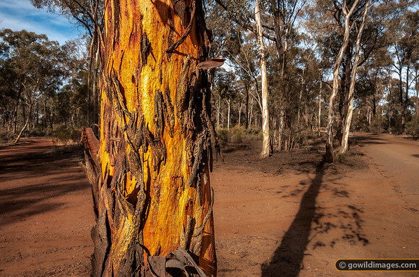 Typical gums and bush tracks in the northern section of Bendigo NP.