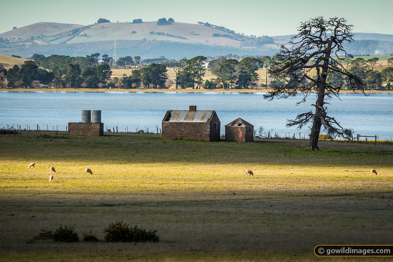 Sheep grazing by bluestone ruins on Lake Learmonth