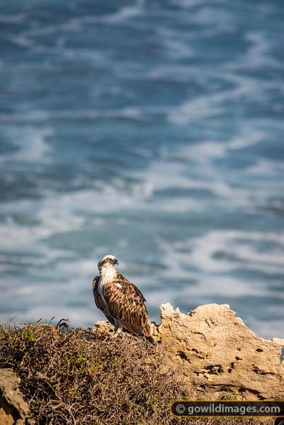 Eastern Osprey Perch
