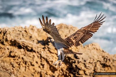 Eastern Osprey Flying