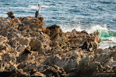 Poised Pelican