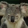 Lone Pine Koala, Brisbane