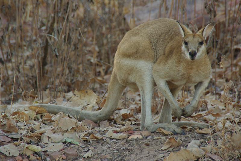 +Kangarooh