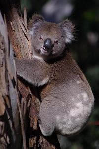 Climbing Koala