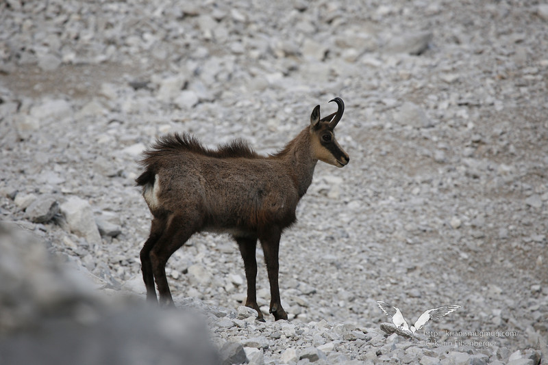 May 2011. A chamois in alpine terraine - photographed at dawn in the Halltal.