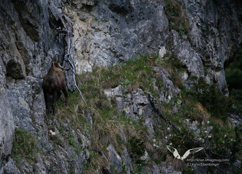 May 2011. A chamois in alpine terraine.