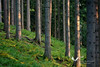 May 2011. Days are long now and the evening light is warm. In the woods near Hollenstein on the way down from a hike up to the Kitzhuette.